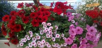 "Cvjećarstvo ""Nesimović"" nudi širok asortiman cvijeća ekstra kvaliteta"
